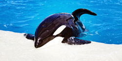 California: Pass Bill Banning Orca Performances!