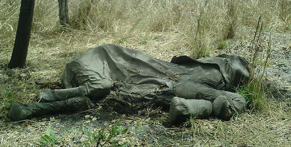Elephant killed for its ivory