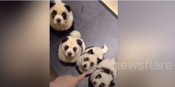 Dogs dyed to look like pandas