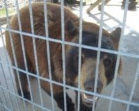 Don%u2019t let the state of Iowa kill Ben!! Ben is a 500lb. domesticated brown bear. He was given a second chance on life by his owner Mike Woodvine, but is now facing the tragedy of being euthanized by the state in December of this year if we are unable