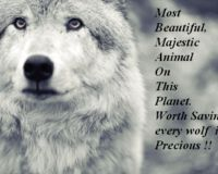 To Stop the Inhumane cruelty to wolves