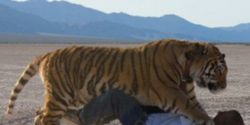 Ban Owner from Keeping Tigers On His Property; Deny Appeals and Further Violations