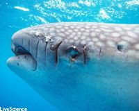 Dude, Whale Sharks Aren't Surfboards!