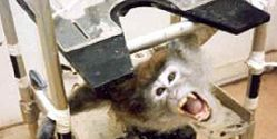 Australia- Stop Killing Baboons for Pointless Experiments