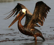 Release Wildlife Damage Caused by BP Oil Spill