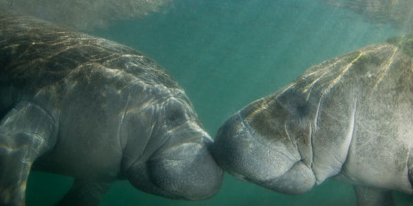 Fish and Wildlife Service: Keep Manatees on the Endangered Species List!
