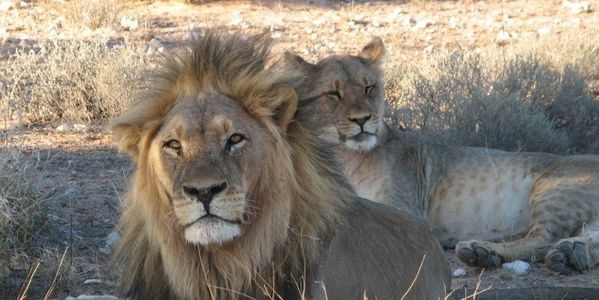 Africa - Protect the Majestic Lion That is in Danger of Extinction