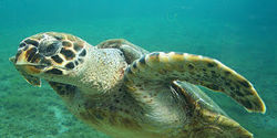 SAVE HAWKSBILL TURTLE