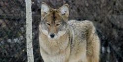 Prevent Cruel Coyote Trapping in the City of Carson, California