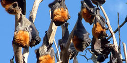 Save 10,000 Bats' Home in NSW, Australia