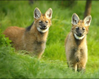 SAVE THE MANED WOLF