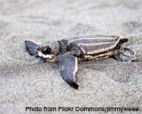 Save Florida's Sea Turtle Hatchlings