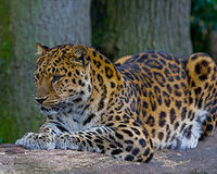SAVE THE AMUR LEOPARD FOR DYING OFF