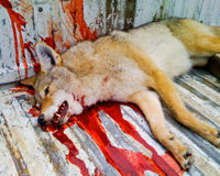 Keep Wolves on The Endangered Species list.