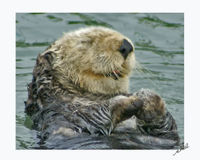 Protect California Sea Otter
