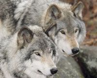 Stop the Slaughter of the American Gray Wolf